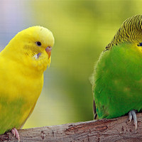 Buy canvas prints of Colourful budgies by Rachel & Martin Pics