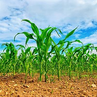 Buy canvas prints of Corn Growing In The Field by Keith Campbell