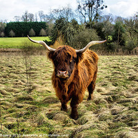 Buy canvas prints of Highland Cow by Debbie Bowers