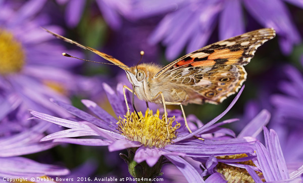 Painted Lady  Acrylic by Debbie Bowers