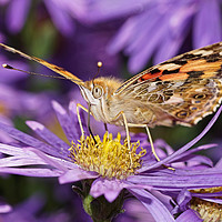 Buy canvas prints of                            Painted Lady  by Debbie Bowers
