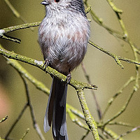 Buy canvas prints of Long-Tailed Tit by Jeff Hardwick