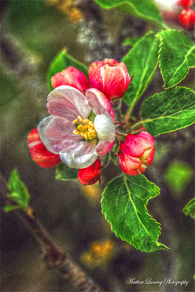 Apple Blossom Canvas print by Matthew Laming