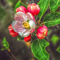 Buy canvas prints of Apple Blossom by Matthew Laming