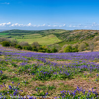 Buy canvas prints of Ventnor Down Bluebell Panarama by Wight Landscapes
