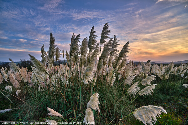Sunset At The Pampas Grass Framed Print by Wight Landscapes