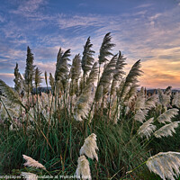 Buy canvas prints of Sunset At The Pampas Grass by Wight Landscapes