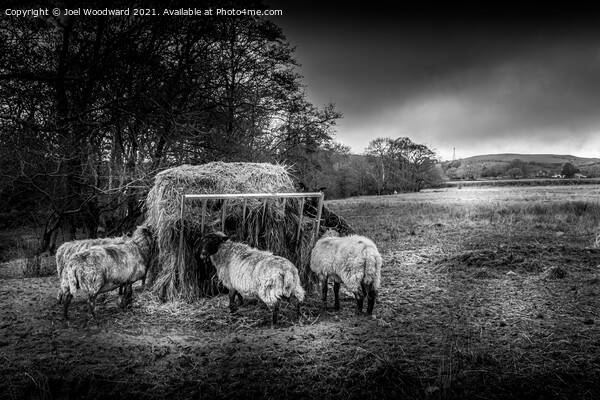 Sheep Black and White Framed Print by Joel Woodward