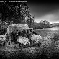 Buy canvas prints of Sheep Black and White by Joel Woodward