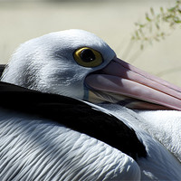 Buy canvas prints of Pelican Eye by Graham Palmer