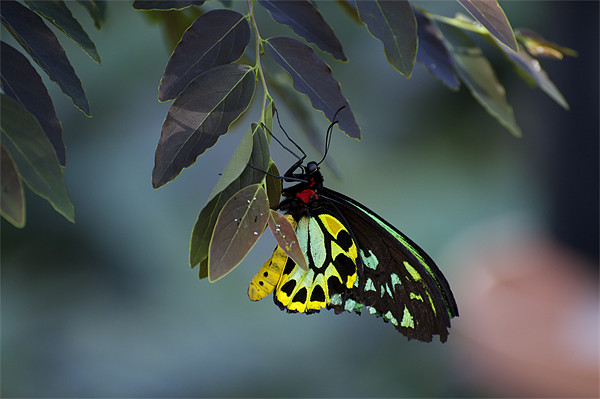 Cairns Birdwing With Eggs Framed Mounted Print by Graham Palmer