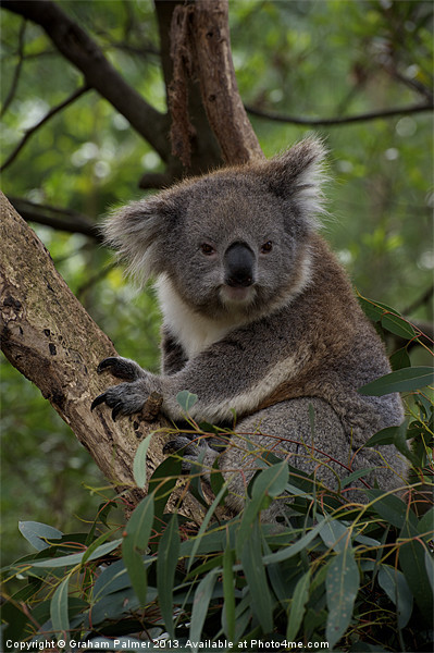 Koala - Is This A Cute Look? Framed Mounted Print by Graham Palmer