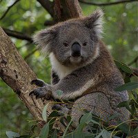 Buy canvas prints of Koala - Is This A Cute Look? by Graham Palmer