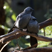 Buy canvas prints of Apostle Birds In Love by Graham Palmer
