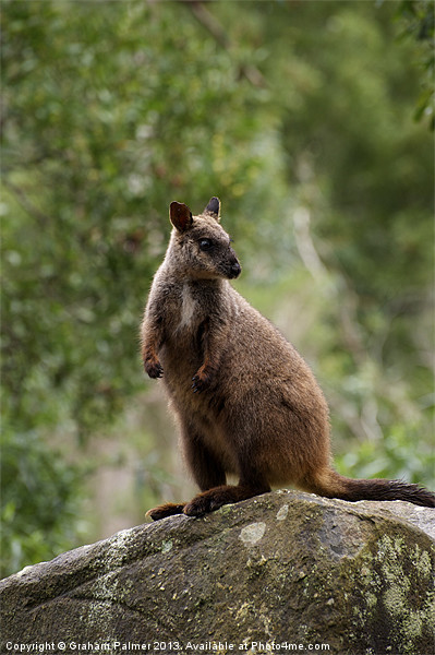 Rock Wallaby Posing Framed Mounted Print by Graham Palmer