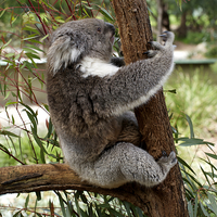 Buy canvas prints of Tree Hugging Koala by Graham Palmer