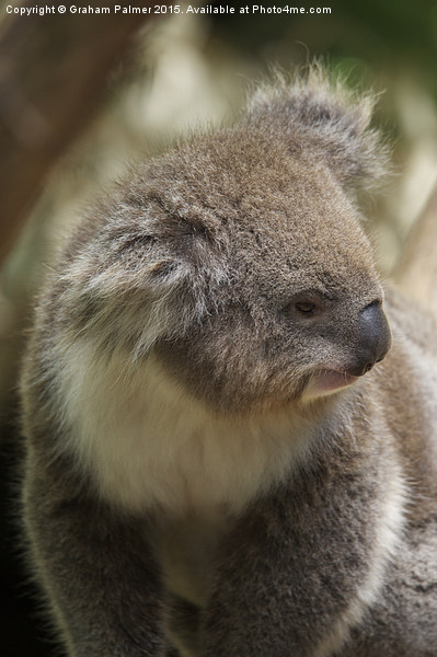 Koala In Profile Framed Mounted Print by Graham Palmer