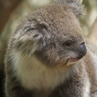 Buy canvas prints of  Koala In Profile by Graham Palmer