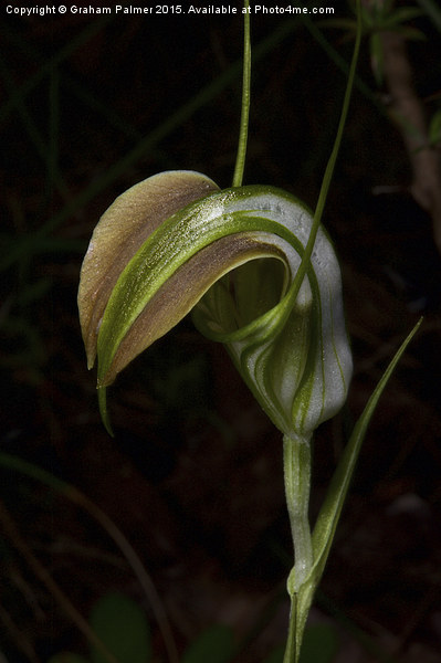 Early Cobra Orchid Framed Mounted Print by Graham Palmer