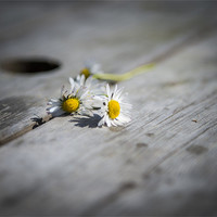 Buy canvas prints of Daisies left at the table.... by Ian Johnston
