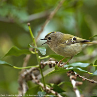 Buy canvas prints of Goldcrest by Paul  Scoullar Wildlife