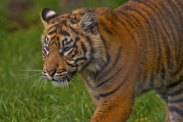 Tiger Canvas print by Paul  Scoullar Wildlife