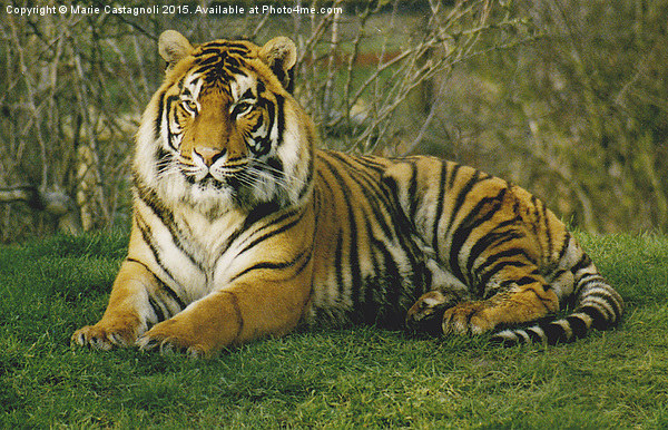 Large Male Bengal Tiger Canvas print by Marie Castagnoli