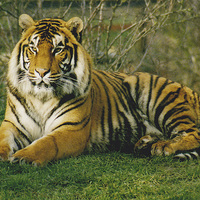 Buy canvas prints of  Large Male Bengal Tiger by Marie Castagnoli
