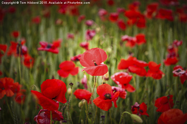Poppies Canvas print by Tom Hibberd
