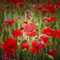Buy canvas prints of  Poppies by Tom Hibberd