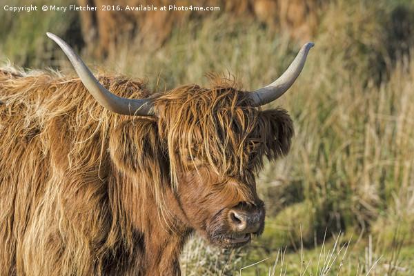 Highland Cow Canvas print by Mary Fletcher
