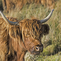 Buy canvas prints of Highland Cow by Mary Fletcher