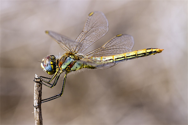 dragonfly Canvas print by Kelvin Rumsby