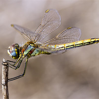 Buy canvas prints of dragonfly by Kelvin Rumsby