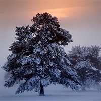 Buy canvas prints of Snow Trees by sam moore