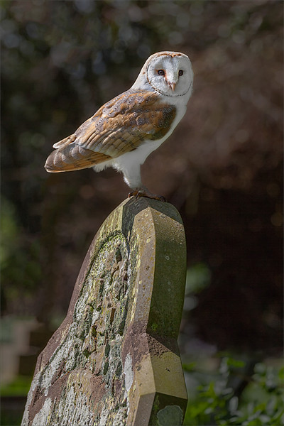 Barn Owl on Headstone Canvas print by Ian Duffield