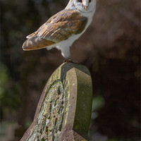 Buy canvas prints of Barn Owl on Headstone by Ian Duffield
