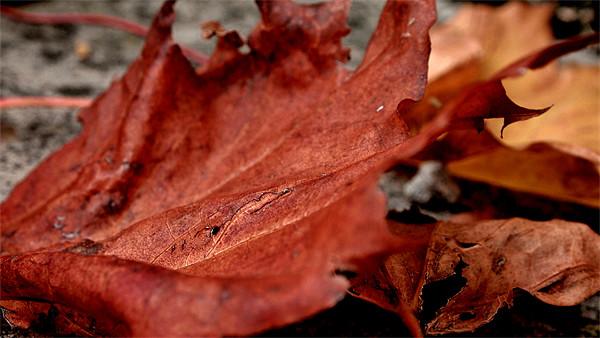 autumn leaves Canvas Print by Daniel Carr