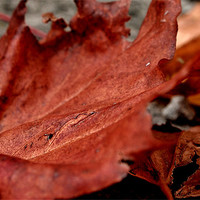 Buy canvas prints of autumn leaves by Daniel Carr