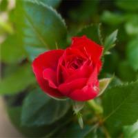 Buy canvas prints of Red Rose by Igors Krjukovs