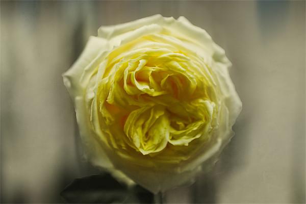 Yellow Rose Canvas print by Igors Krjukovs