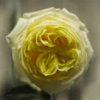 Buy canvas prints of Yellow Rose by Igors Krjukovs