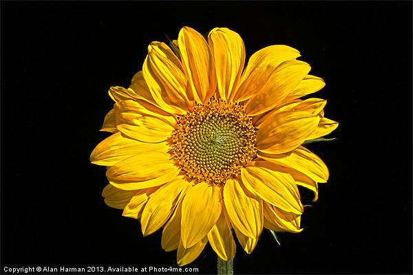 Sunflower Canvas print by Alan Harman