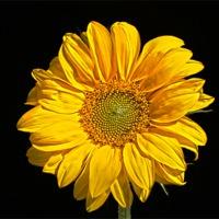 Buy canvas prints of Sunflower by Alan Harman