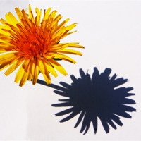 Buy canvas prints of Dandelion and Shadow by Alan Harman