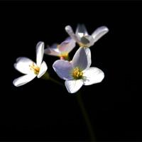 Buy canvas prints of Cardamine Pratensis Flowers by Alan Harman