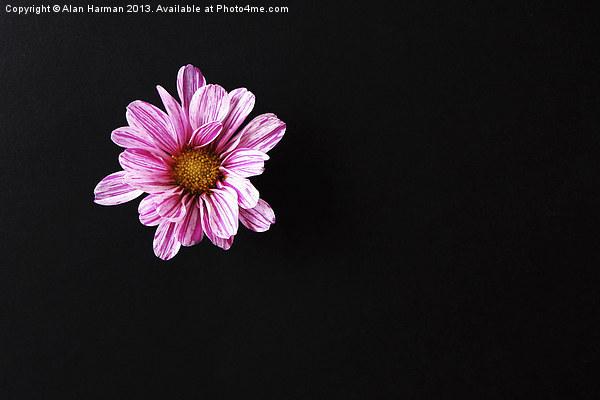 Chrysanthemum Flower Canvas print by Alan Harman