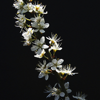 Buy canvas prints of Hawthorn Flowers by Alan Harman