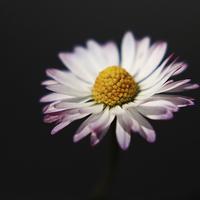 Buy canvas prints of Common Daisy by Alan Harman
