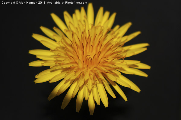 Dandelion Flower Canvas Print by Alan Harman